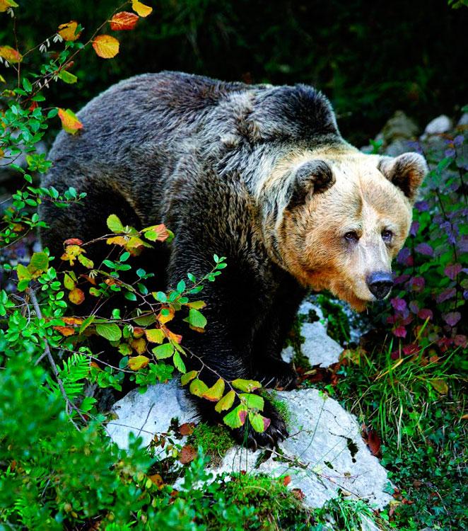 Asturias oso